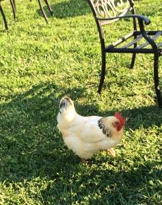 Bluemont Vineyard chicken