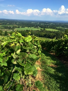 Bluemont Vineyard grapes