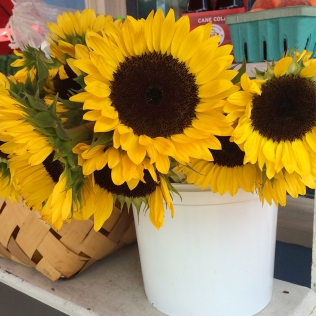Bonnie Blue sunflowers
